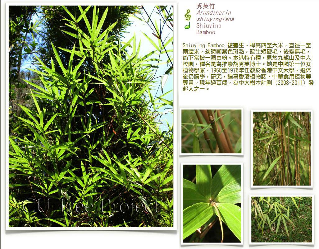 Shiuying Bamboo