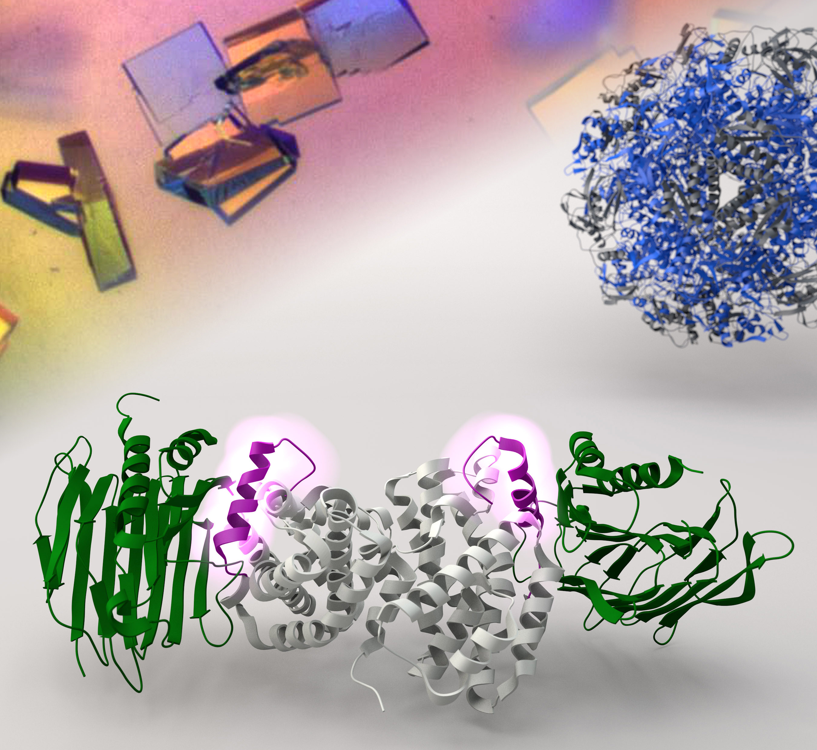 X-ray crystallography reveals the molecular structure of the helper proteins UreF-UreH that are responsible for delivering nickel ions to the urease.