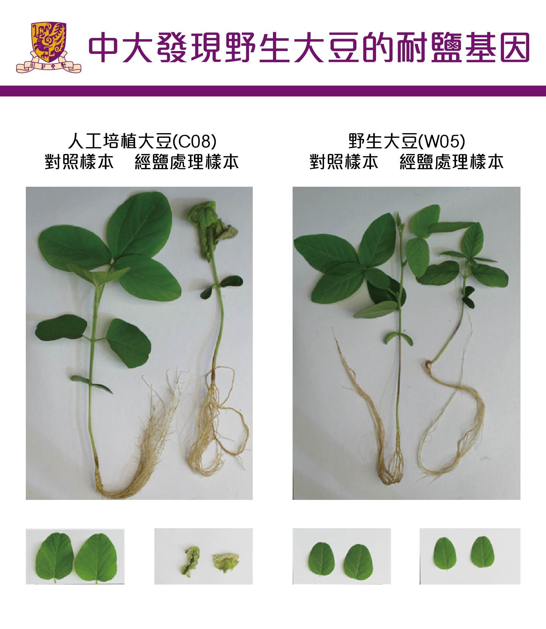 Wild soybean W05 is less salt-sensitive than cultivated soybean C08.
