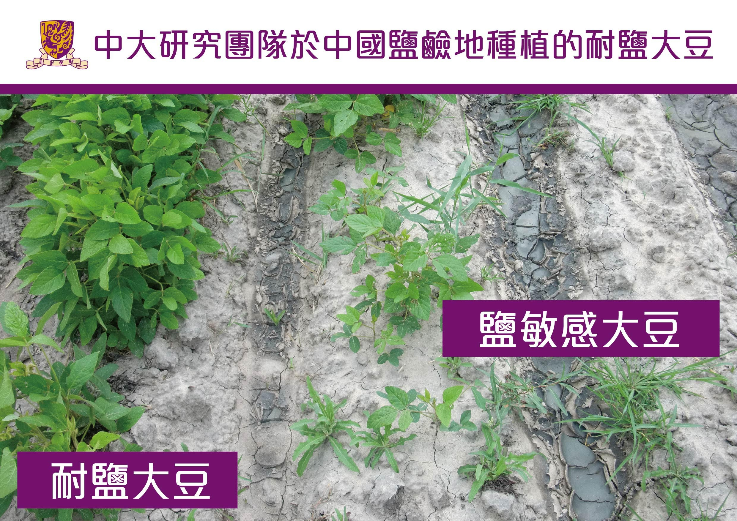 Salt tolerant soybean and salt sensitive soybean tested on saline lands in China.