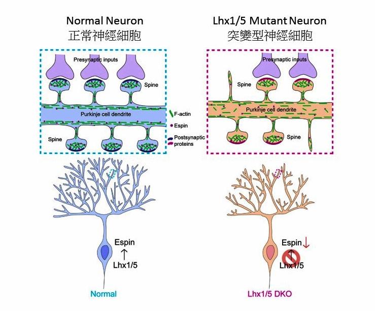 關教授及其團隊發現Lhx1和Lhx5基因會影響浦金氏神經細胞的發育, 而大部份小腦萎縮症個案都是因小腦中的浦金氏神經細胞發育缺陷而導致。