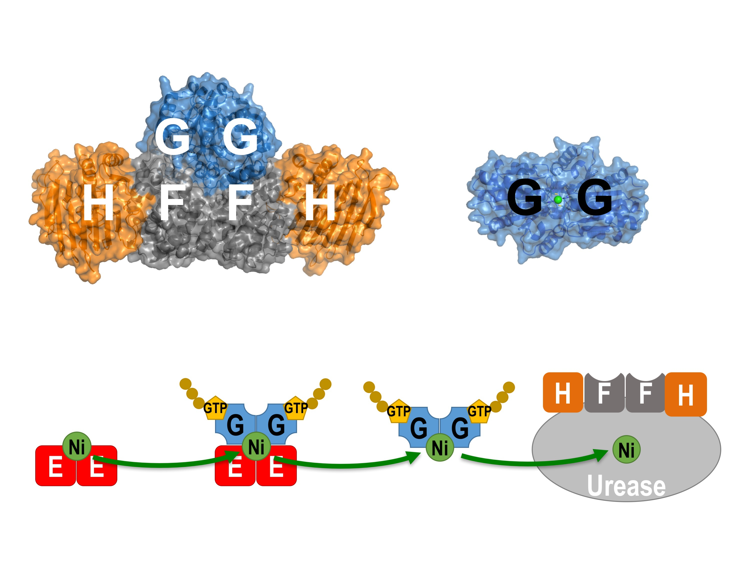 Professor Wong and his team used X-ray crystallography as a molecular microscope to visualise how the helper proteins (UreE, UreF, UreG, and UreH) work together to deliver the toxic nickel ions to the urease, an enzyme essential for the infection of the H. pylori in the acidic human stomach.