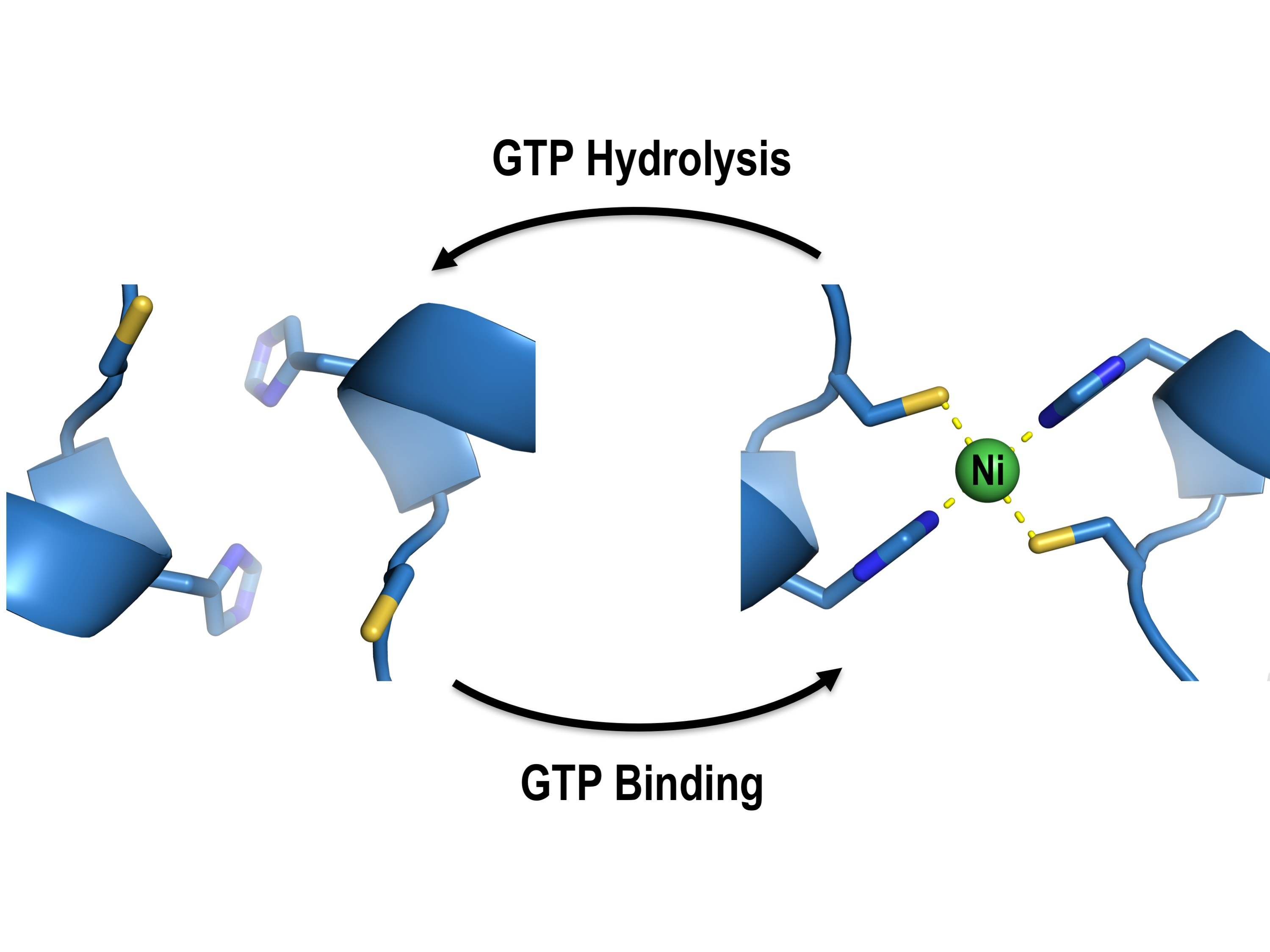 After GTP hydrolysis, UreG changes its shape and releases its bound nickel ions, activating the urease with the help of UreF/UreH.