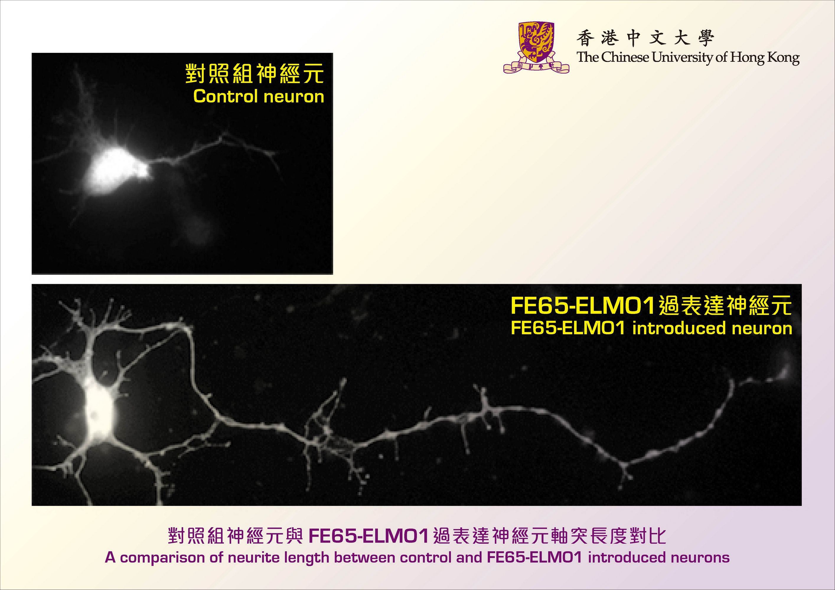 A comparison of neurite length between control and FE65-ELMO1 introduced neurons