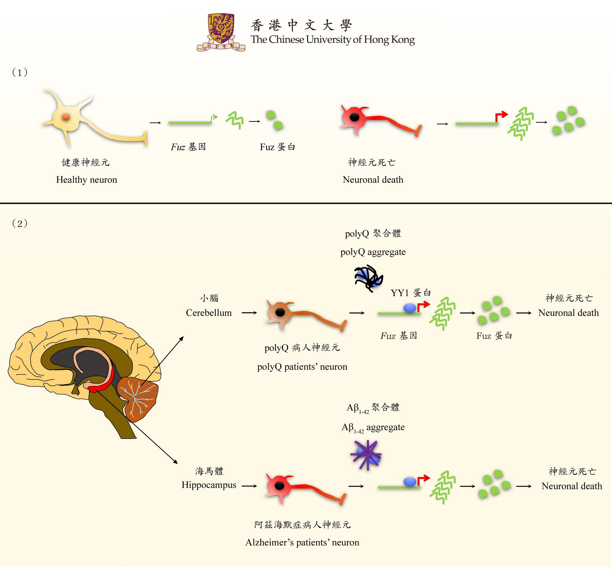 This finding demonstrates the function of Fuz in inducing neuronal death. The study of this function in polyQ disorders will advance the mechanistic research in common neurological diseases.