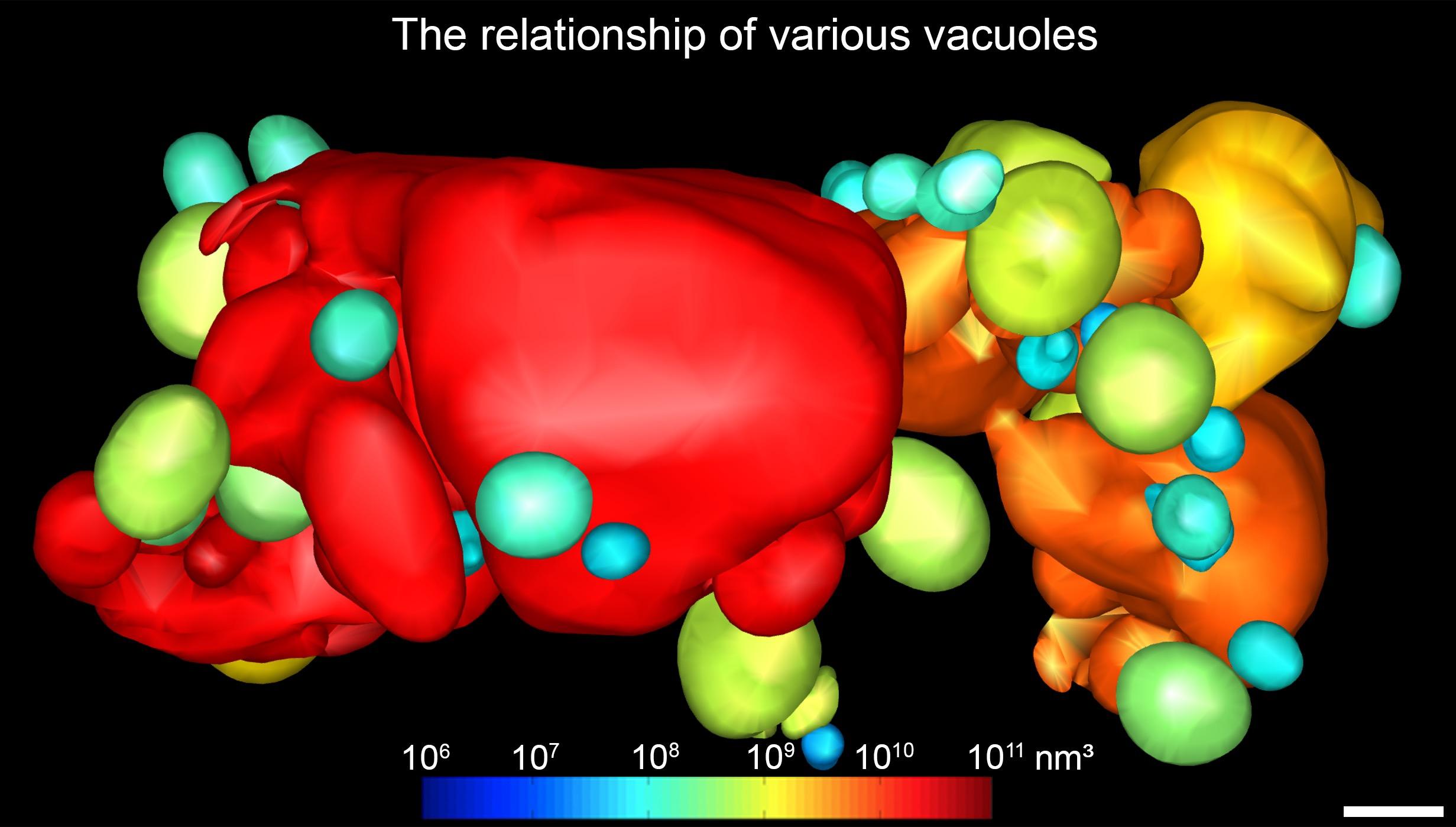 圖3. 全細胞電子斷層掃描結果展示了在植物皮層細胞中,不同大小液泡的性質和彼此之間的關係(融合和分離)。每個液泡根據其體積大小進行染色。(比例尺:1微米)