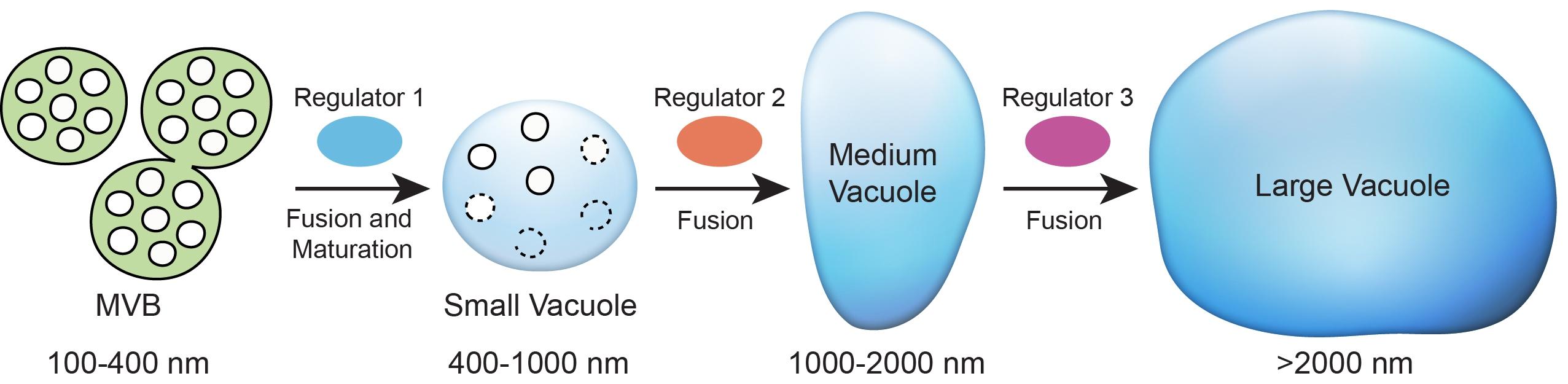 圖4.新模型展示了植物細胞中液泡形成的機制。液泡是由多囊泡體融合衍生而來,其中包括一系列多種蛋白參與的融合過程。