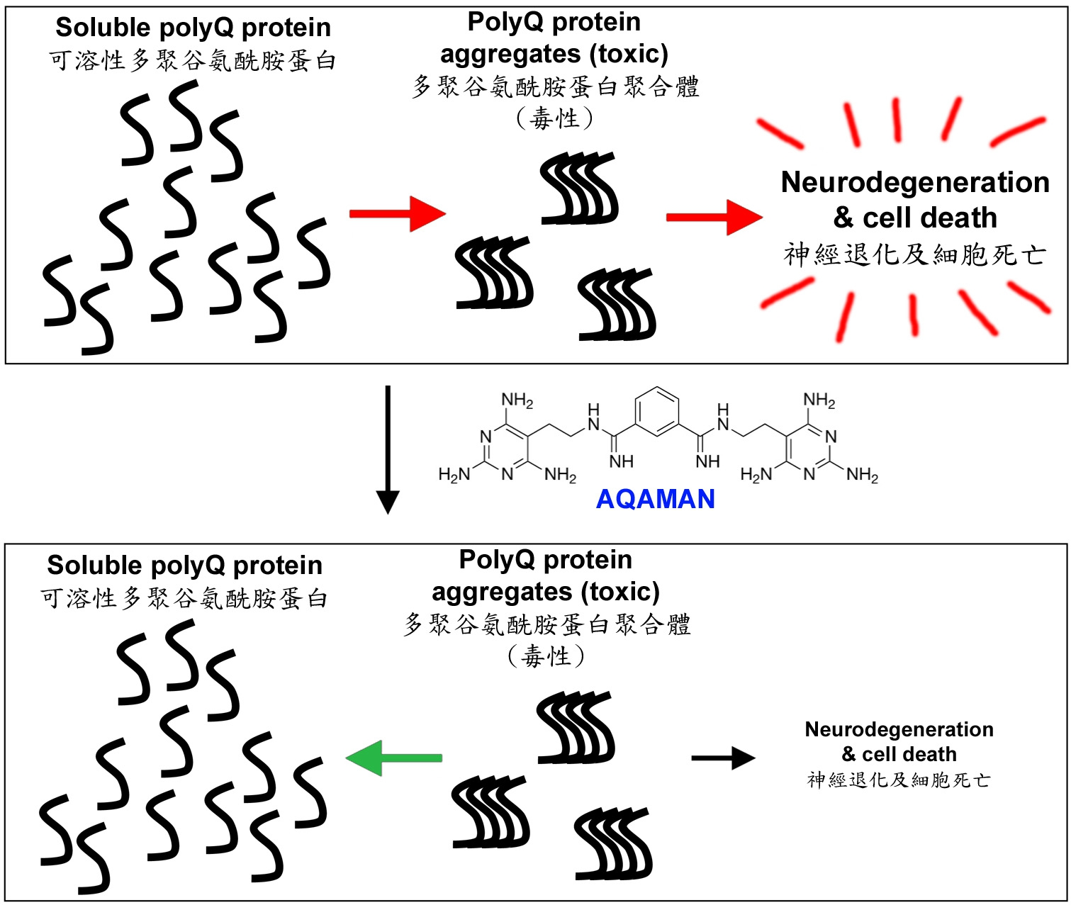 AQAMAN能干擾有毒polyQ蛋白質聚合體形成,並促使已形成的聚合體分解。