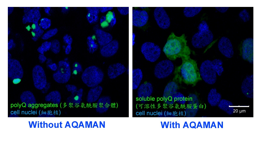 polyQ蛋白質聚合體在加入AQAMAN後還原為正常蛋白。