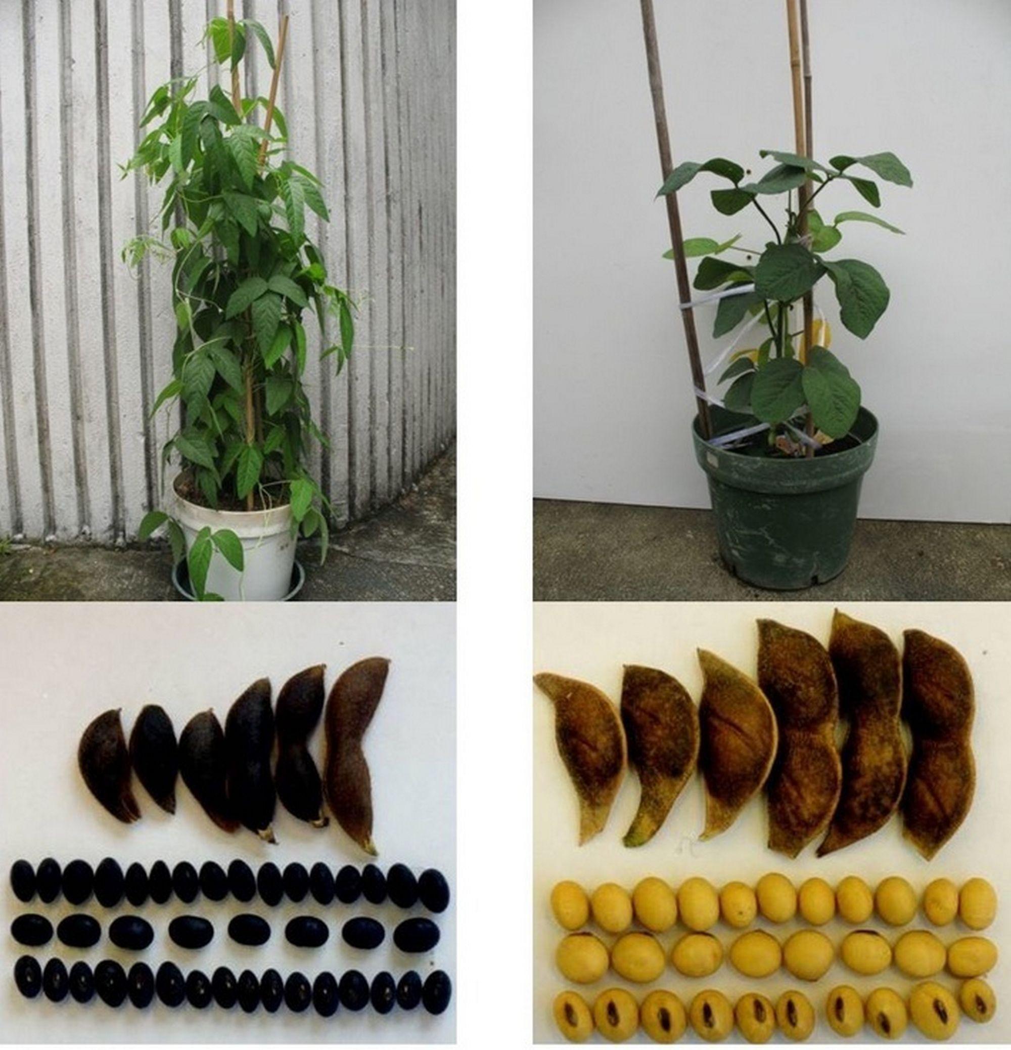 野生大豆W05(左)及培植大豆