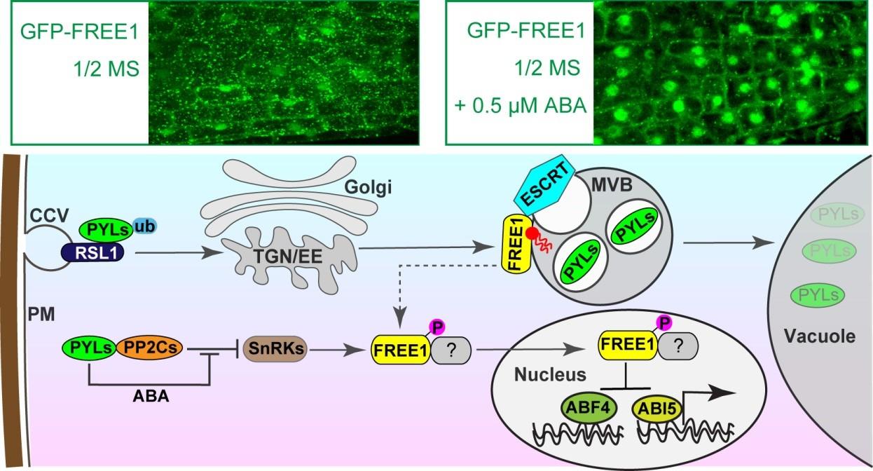 FREE1蛋白參與調控ABA訊號的模式圖。圖上半部分顯示FREE1蛋白回應ABA訊號進入細胞核。圖下半部分顯示FREE1蛋白形成ESCRT複合物在細胞質中通過調控ABA受體PYLs轉運至液泡降解,進入細胞核在轉錄水準上調控ABA訊號。