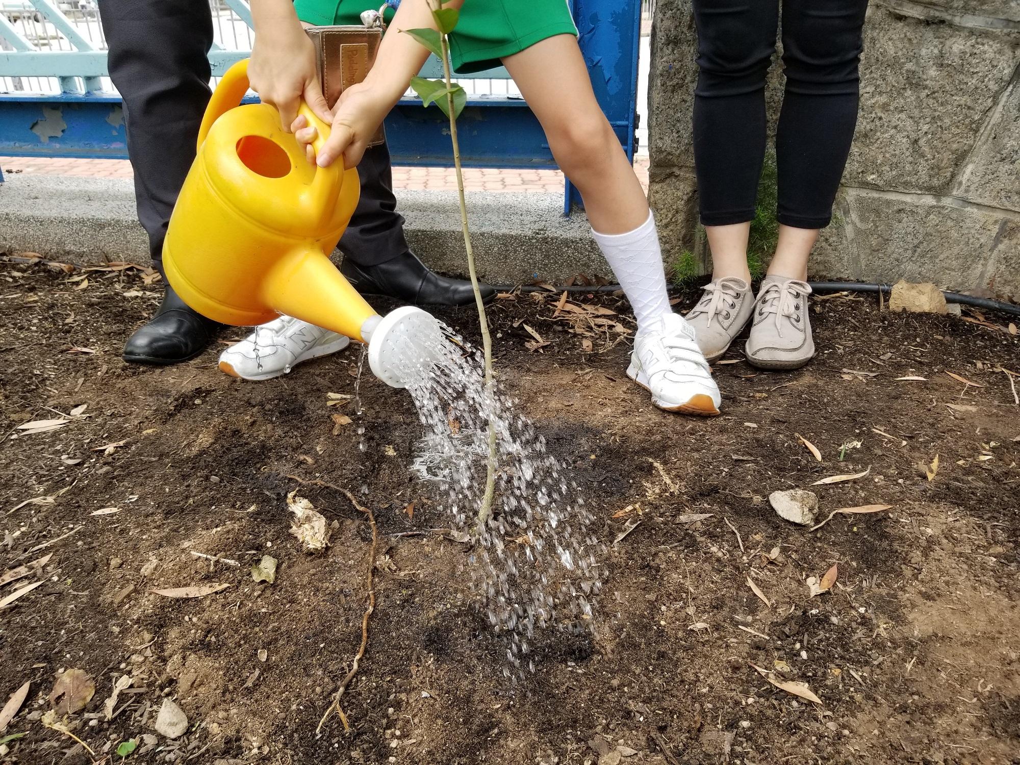 漁農自然護理署向每所參與「受保護植物校本STEM保育」計劃的學校,捐贈三株本地受保護物種土沉香 Aquilaria sinensis (Lour.) Spreng的樹苗,於校園內種植。