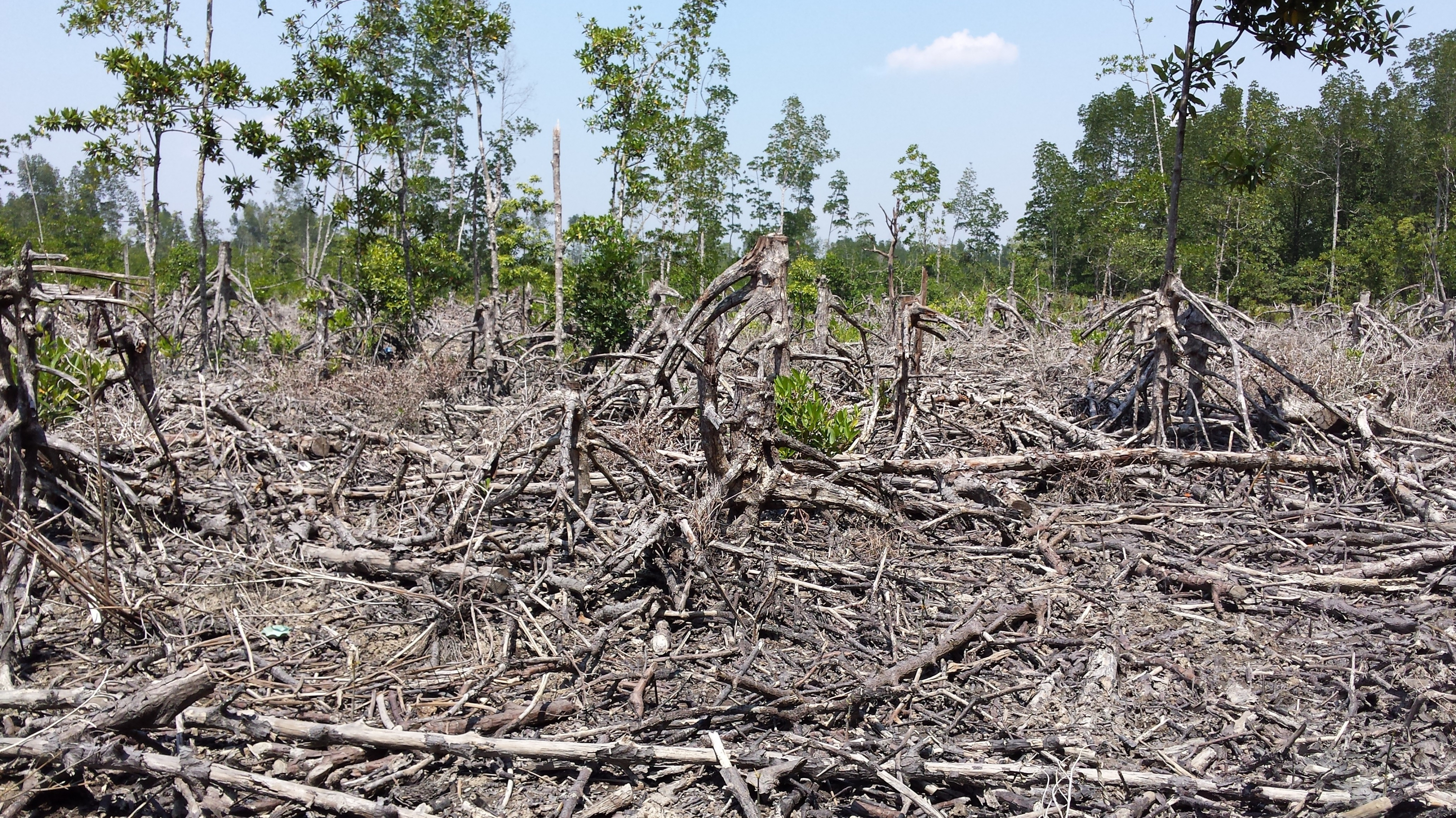 Mangrove clearing is a common scene in Southeast Asia.