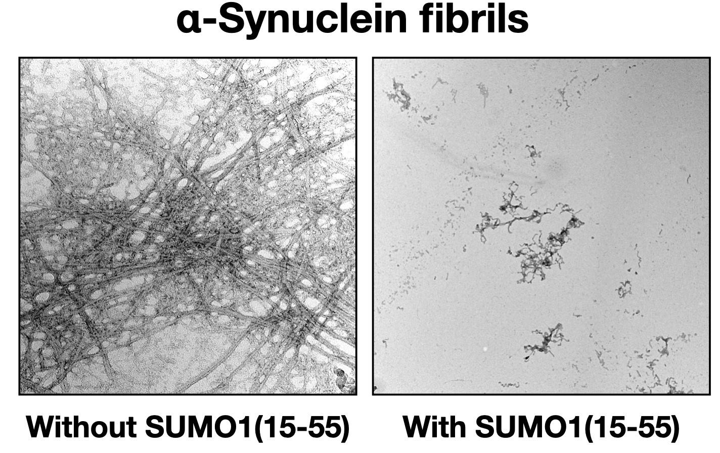 SUMO1(15-55) 在體外抑制α-突觸核蛋白原纖維的形成。