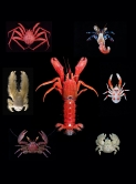 Figure legend: A symmetrical hermit crab shown at the centre is the common ancestor of all the other anomurans in this figure. Clockwise from the top-right: asymmetrical hermit crab, squat lobster, hairy stone crab, porcelain crab, yeti crab, and king crab.