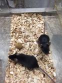 陳文樂教授在其培育的實驗小鼠身上證實,可透過處理PTEN而令其不能影響突觸的活躍性,從而防止神經細胞傳遞訊息功能受影響。