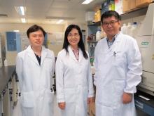 中大医学院内科及药物治疗学系于君教授(中)领导的研究首次发现SQLE为非酒精性脂肪肝诱发肝癌的关键致癌基因。团队成员包括刘大斌博士(右)和黄子隽研究助理教授(左)。