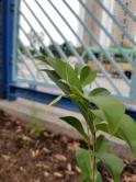 學校將收集土沉香在校園內生長的環境及生長數據,交由標本館進行分析,日後作為土沉香研究及保育用途。