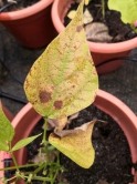 The plant's foliar is damaged by high intensity of ozone, thus showing more red mottles.