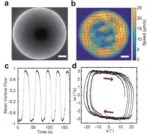 圖(a) 顯微鏡下,細菌活性物質形成的毫米尺度巨型渦旋。(b) 巨型渦旋產生的瞬時速度場。圖a和b的尺規為250微米。(c) 巨型渦旋周期性地反轉旋轉方向(即扭擺式振動)。(d) 巨型旋渦的周期性振動過程。