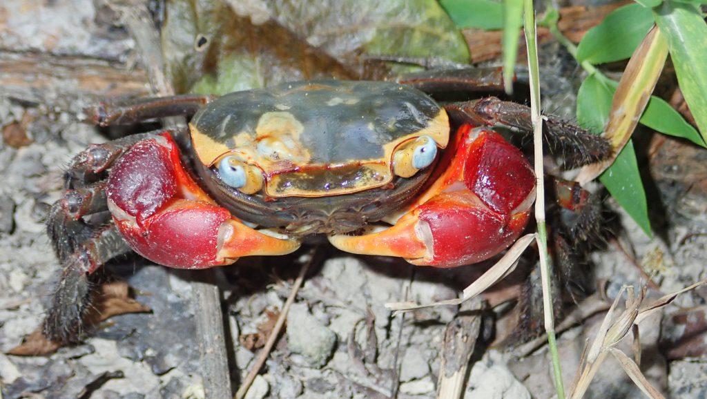 大型的螃蟹,如紅螯螳臂蟹 (Chiromantes haematocheir),不停地翻攪泥土,幫助提供紅樹養分及氧氣。(圖片提供:Stefano Cannicci)