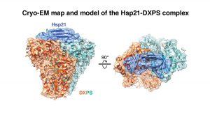 Cryo-EM map and model of the Hsp21-DXPS complex.