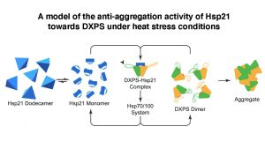 Anti-aggregation activity of Hsp21 towards DXPS under heat stress conditions.