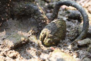常見於本地紅樹林的歪紅樹蜆 (Geloina expansa) ,透過過濾水中的懸浮物和食物顆粒來進食。牠主要生活於較少被水淹浸的紅樹林高潮間帶,即使數星期沒有水仍能存活。(圖片提供:Joe S Y Lee)