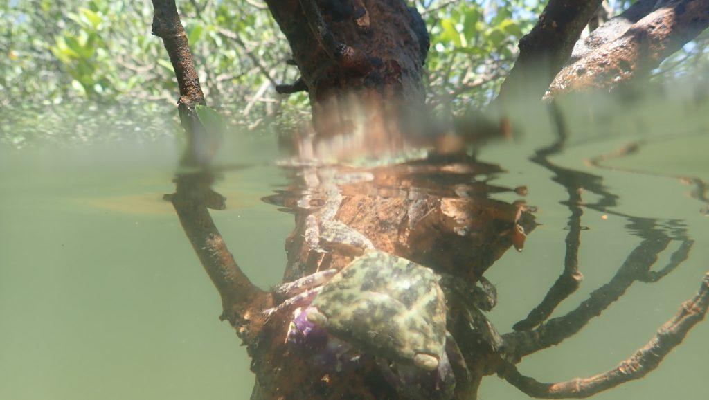 許多螃蟹,如寬額大額蟹 (Metopograpsus frontalis),需在紅樹林中找食物及棲地。(圖片提供:Stefano Cannicci)