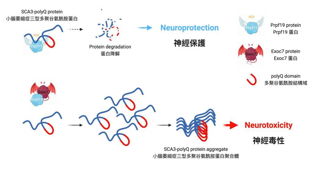 Prpf19蛋白有助降解小腦萎縮症三型的疾病蛋白,減低小腦萎縮症三型的細胞毒性。Exoc7蛋白會減低Prpf19蛋白對疾病蛋白的分解,使其失去對小腦萎縮症三型的保護功能。