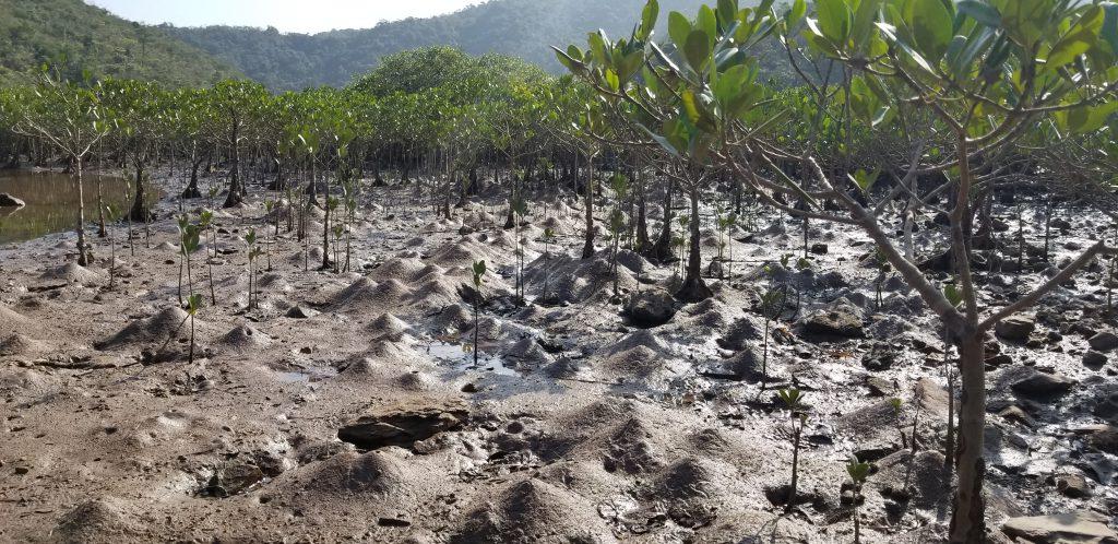 無脊椎動物與紅樹林許多的生態功能都息息相關,例如位於香港新界東北的三椏桶紅樹林,其地型受到在該處居住的甲殼類動物所影響,形成多個土丘。(圖片提供:Joe S Y Lee)