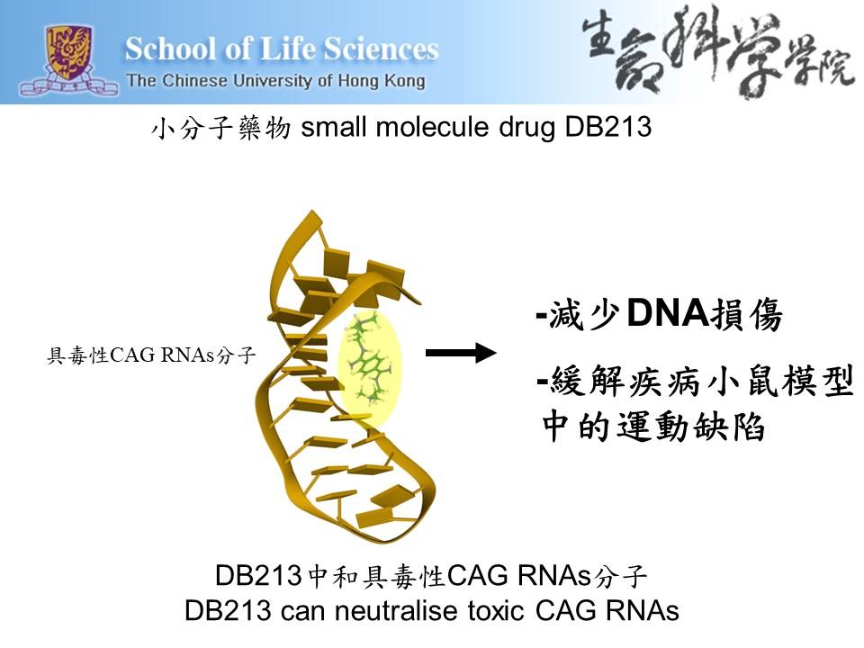 小分子藥物DB213可中和具毒性的CAG RNAs分子