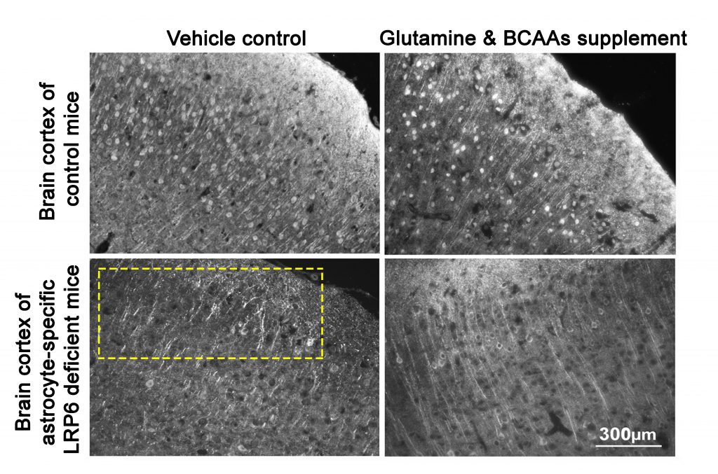 Direct supplementation of glutamine and BCAAs to LPR6 knockout mice improved neurite integrity in brain cortex.